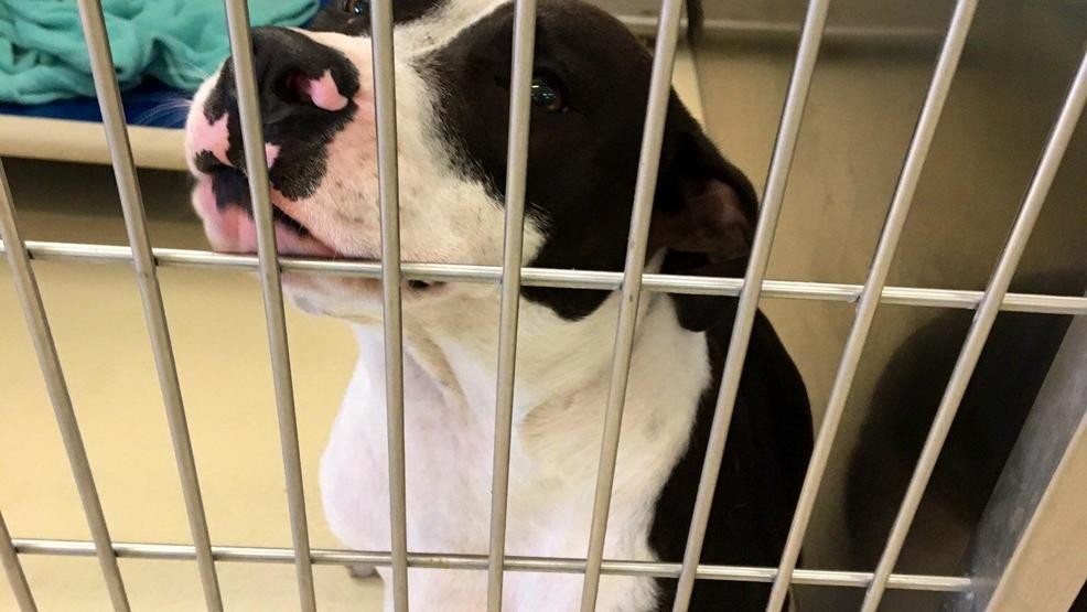 SPCA of Southwest Michigan welcomes dogs evacuated from