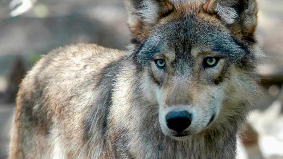 Michigan wolf captured, flown to Isle Royale | WWMT