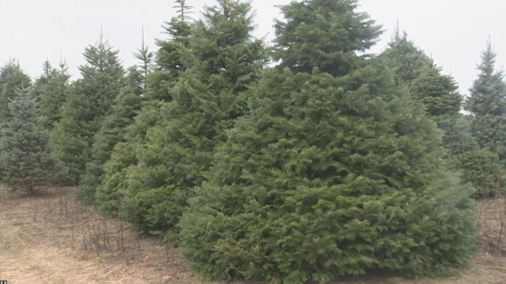 How Much Do Real Christmas Trees Cost.Rocking Around A Real Christmas Tree Will Cost You This Year